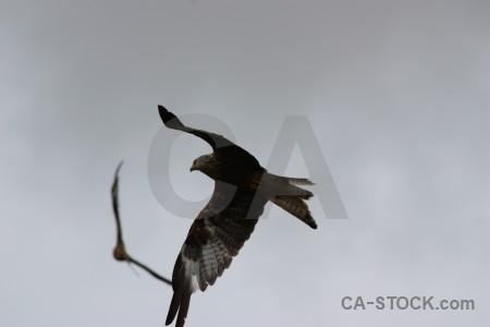 Bird animal flying sky gray.