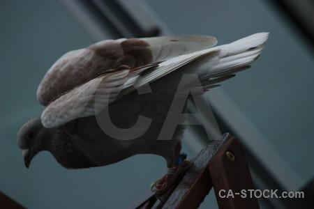 Bird animal pigeon dove.