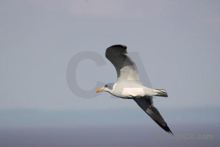 Bird animal seagull flying sky.