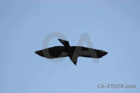 Bird animal sky flying jackdaw.