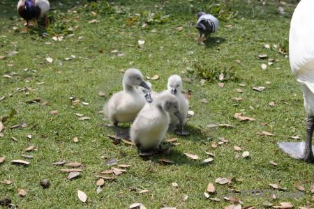 Bird animal swan chick aquatic.