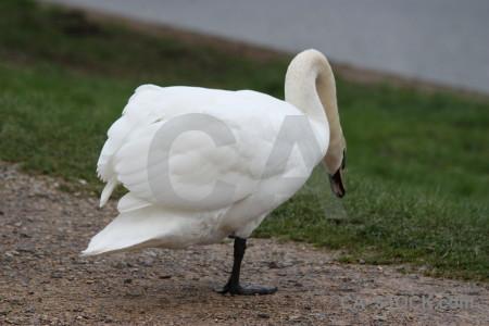 Bird aquatic swan pond animal.