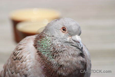 Bird dove animal gray pigeon.