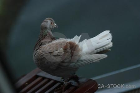Bird dove animal pigeon.