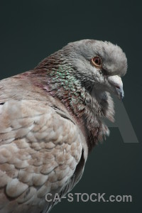 Bird dove pigeon animal.