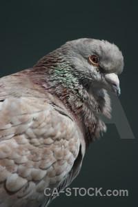 Bird dove pigeon animal.
