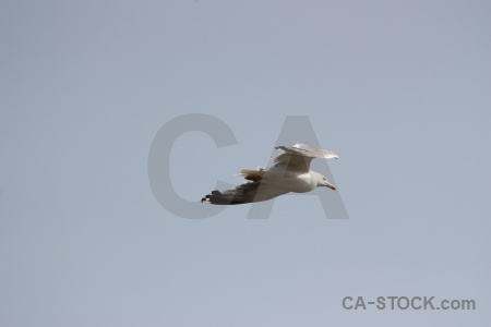 Bird europe javea seagull spain.