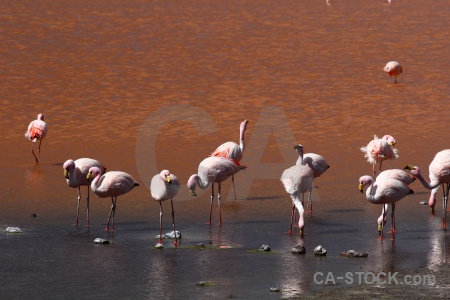 Bird flamingo bolivia south america animal.