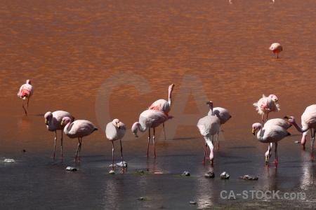 Bird flamingo bolivia south america animal.