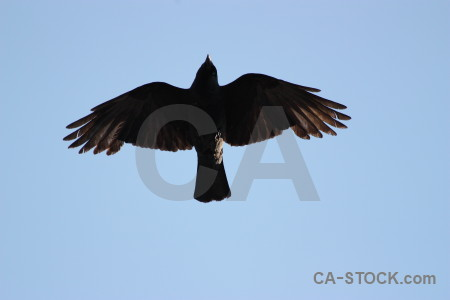 Bird flying animal sky jackdaw.