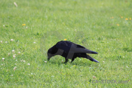 Bird green animal grass crow.