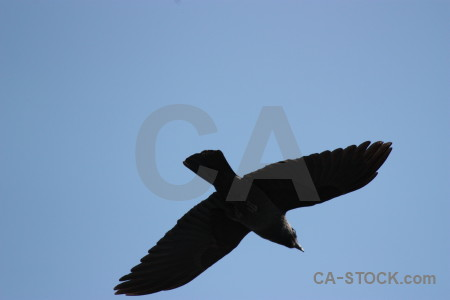 Bird jackdaw flying sky animal.