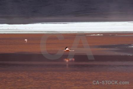 Bird laguna colorada salt lake south america flamingo.