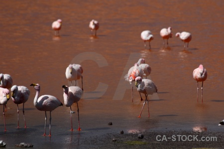 Bird laguna colorada south america flamingo lake.