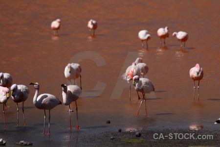 Bird laguna colorada south america flamingo lake.