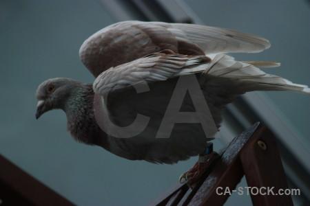 Bird pigeon dove animal.