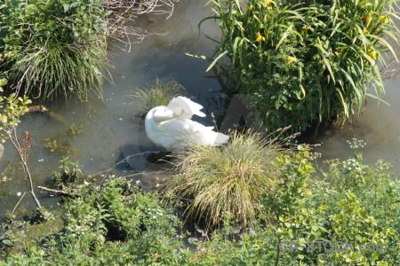 Bird pond swan water animal.