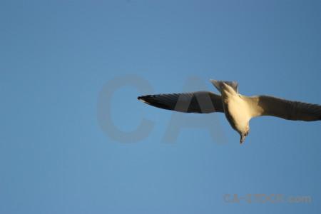 Bird seagull sky animal flying.