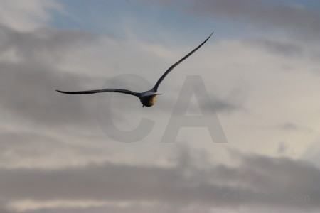 Bird sky animal gray flying.