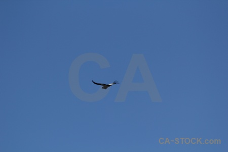 Bird south america colca canyon peru sky.
