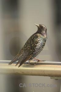 Bird starling animal.