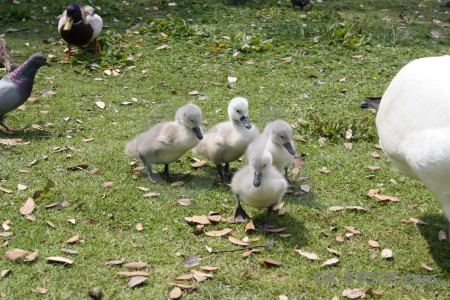 Bird swan aquatic animal chick.