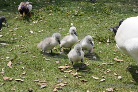 Bird swan aquatic chick animal.