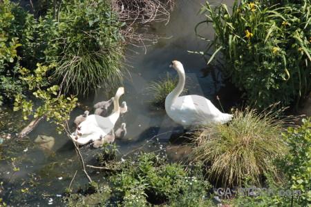 Bird swan aquatic water pond.