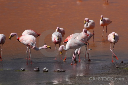 Bird water bolivia laguna colorada salt lake.