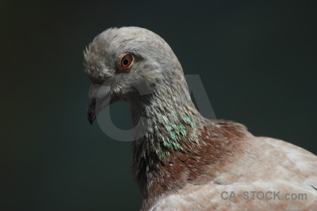 Black dove pigeon bird animal.