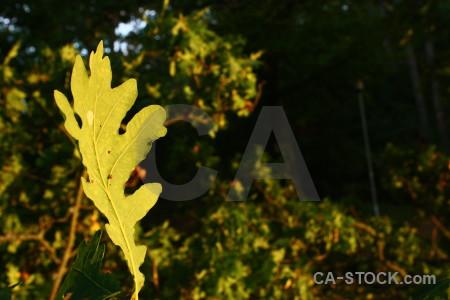 Black leaf yellow.