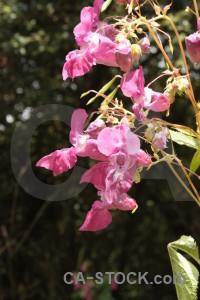 Black pink flower plant.