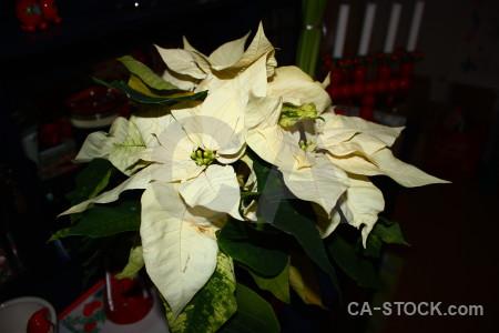 Black plant christmas flower.