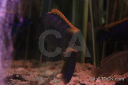 Black purple fish animal.