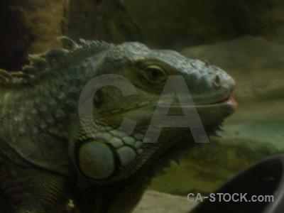 Black reptile lizard animal green.