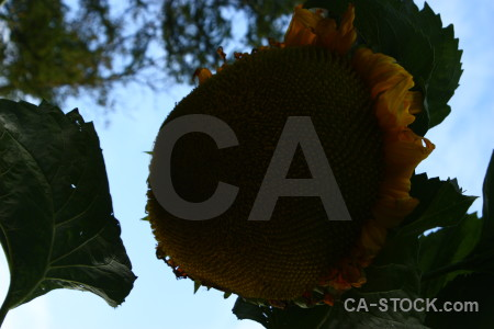 Black sunflower plant flower.