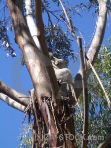 Blue animal koala.