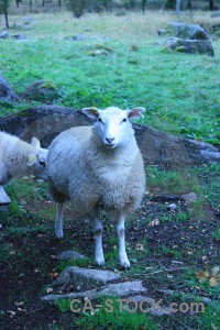 Blue cyan animal green sheep.