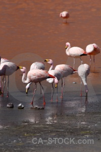Bolivia andes flamingo laguna colorada animal.