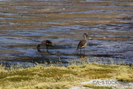 Bolivia animal lake water grass.