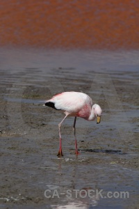 Bolivia lake salt animal altitude.