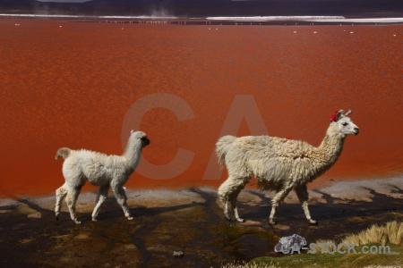 Bolivia llama animal andes water.
