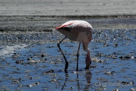 Bolivia salt lake andes laguna hedionda flamingo.