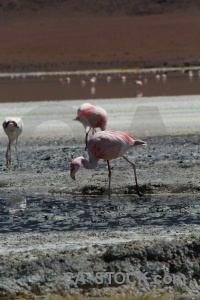 Bolivia salt lake bird south america altitude.
