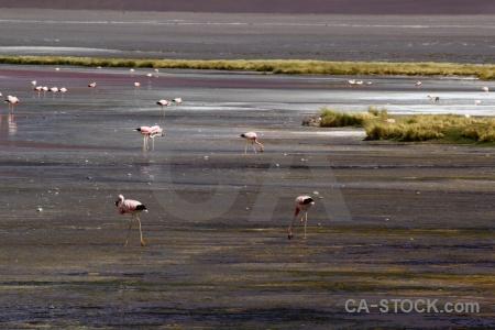 Bolivia south america lake andes bird.