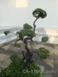 Bonzai plant tree asia southeast.