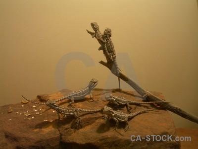 Brown animal lizard reptile.