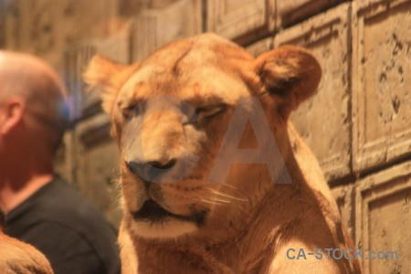 Brown cat orange lion animal.
