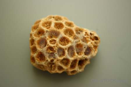 Brown coral orange shell.