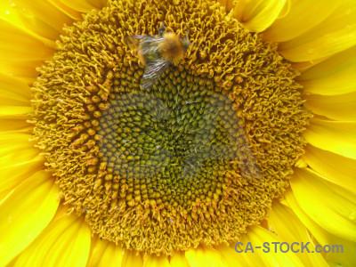 Brown flower orange yellow sunflower.